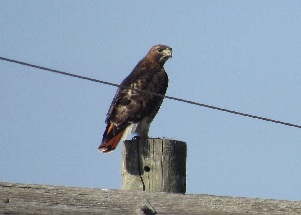 Northern? Eastern Red-tailed Hawk