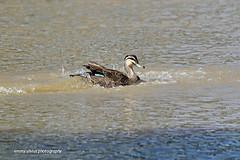 Pacific Black Duck - splashing (0631)