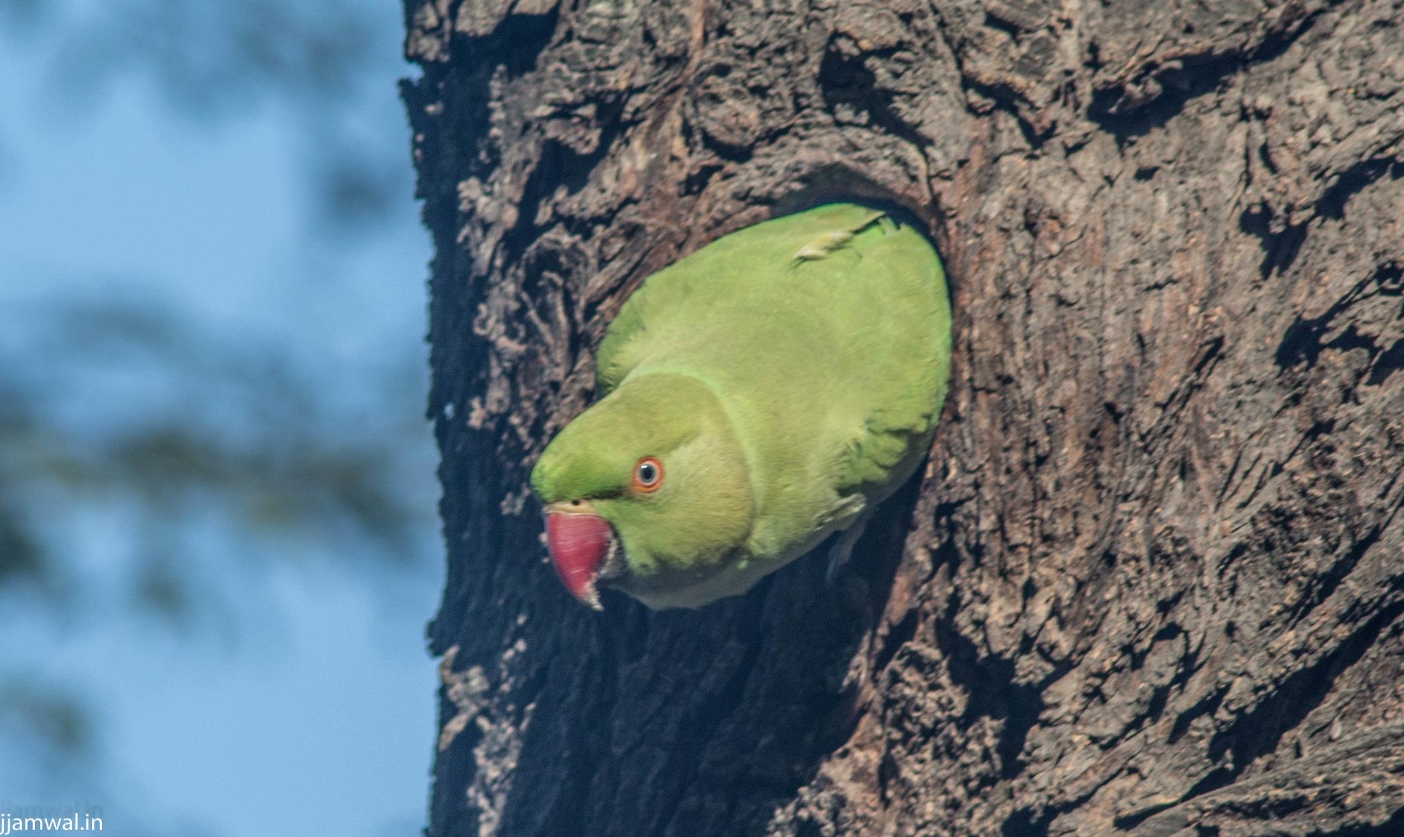 Rose-ringed parakeet (Psittacula krameri), also known as the ring-necked parakeet