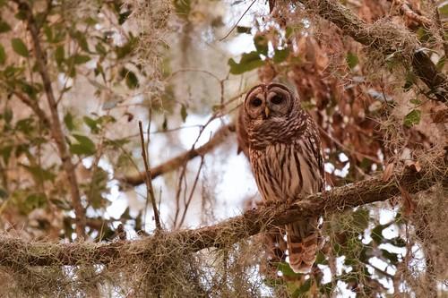 owl blinking gif circle b lakeland outdoor sky nature wildlife 7dm2 canon florida bird