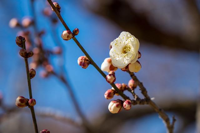 早咲きの梅(白色)@花木園(梅園)