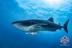 Two Whalesharks at Kinondo yesterday