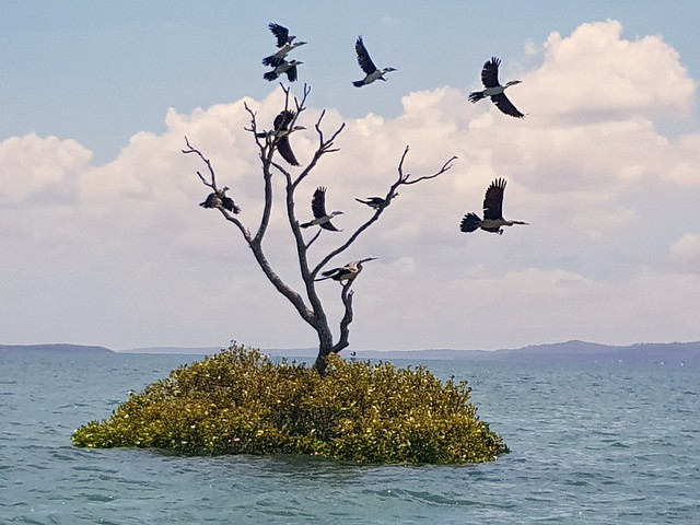 Cormorants take off
