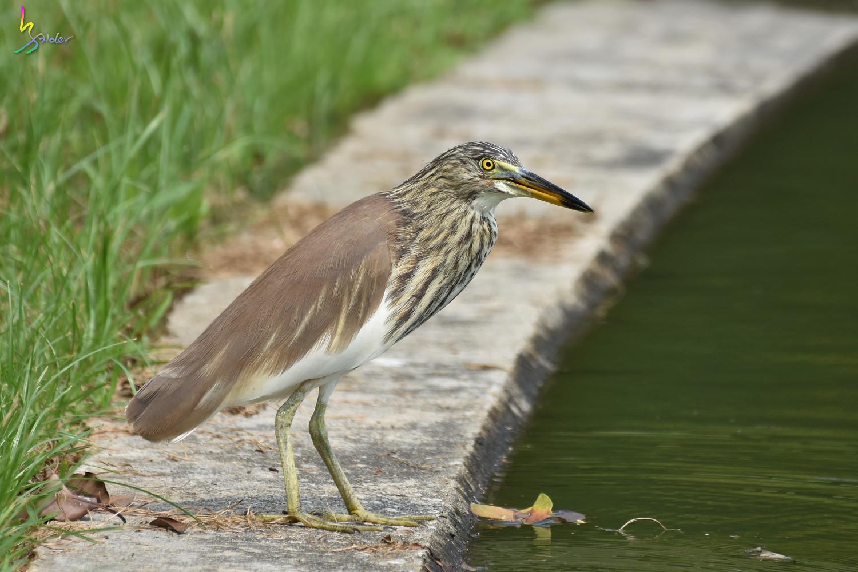 Pond_Heron_1291
