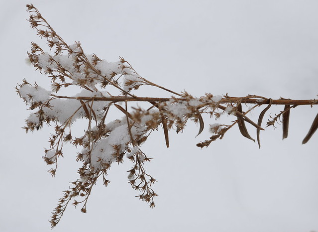 a thin stem pointing to the left, exactly horizontal, the light brown flowers lightly dusted with snow