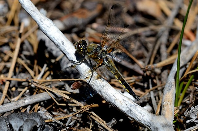 Libellula quadrimaculata (Four-spotted Skimmer)