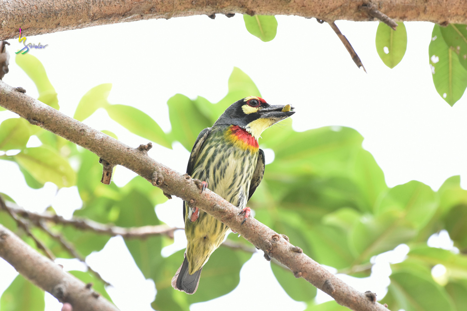 Coppersmith_Barbet_0284