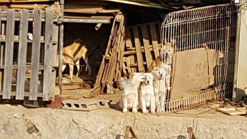 "Busan KAPCA closes down ""meat dog"" farm and rescues 27 dogs in Yangsan"