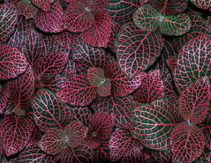 Red Green Leaves-7083