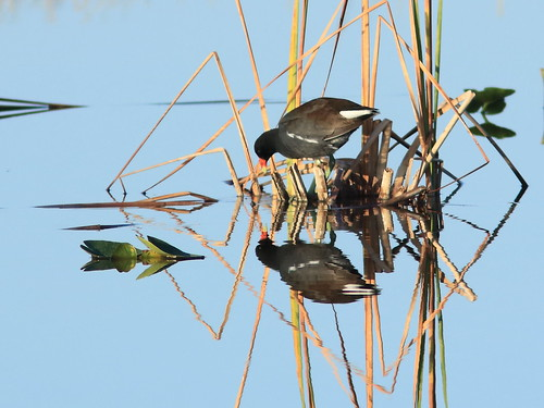 Common Gallinule 20180206
