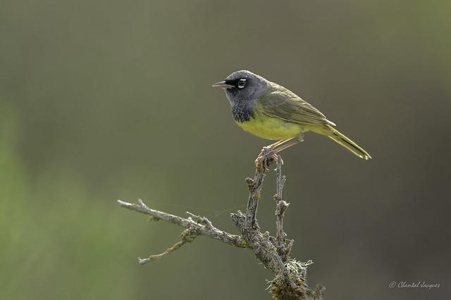 A rare encounter- Macgillivray warbler