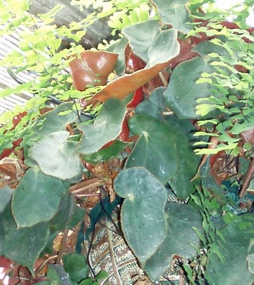 Begonia epipsila 25885330828_732d650e7a_o