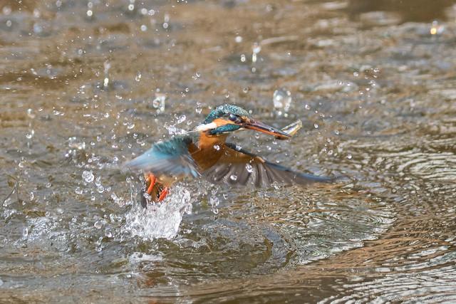 20180203-kingfisher-DSC_7076