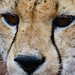 Portrait guépard/ Cheetah south Africa_4157