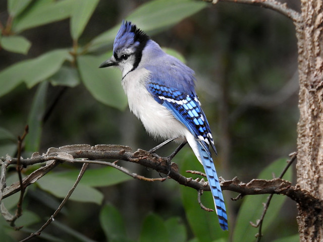 Corvidae: Cyanocitta cristata - Blue Jay with raised crest