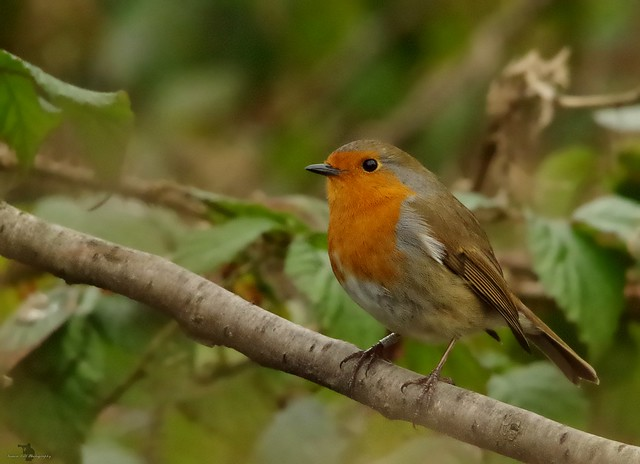 robin garden bird (4)