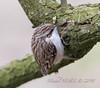 Grimpereau des jardins - Certhia brachydactyla - Short-toed Treecreeper : Michel NOËL © 2018-1894.jpg
