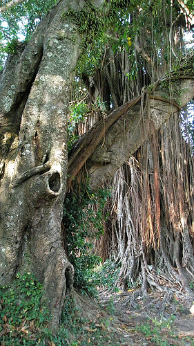 Banyan Tree in Laos