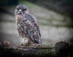 Buzzard- British Wildlife Centre