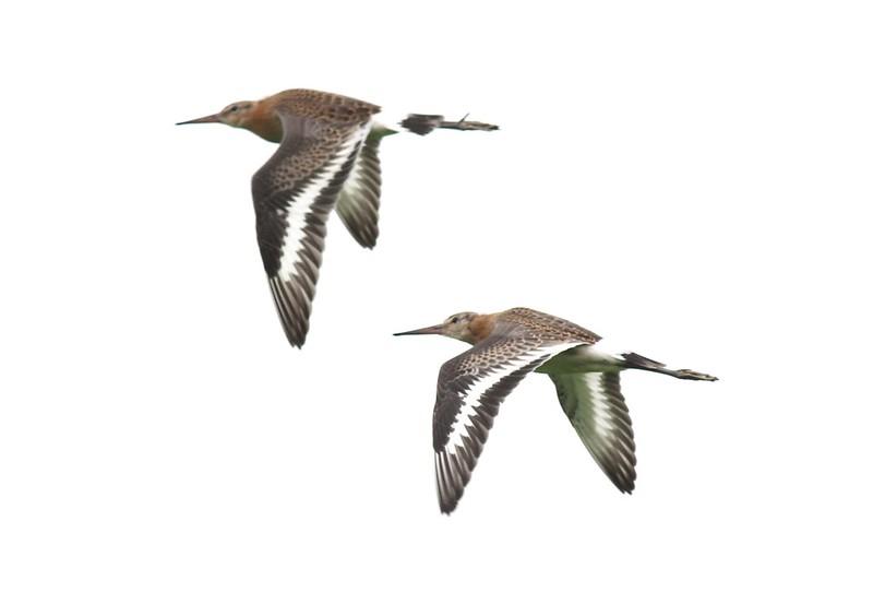Black-tailed godwit  juveniles Ouse Washes - Jonathan Taylor 2013