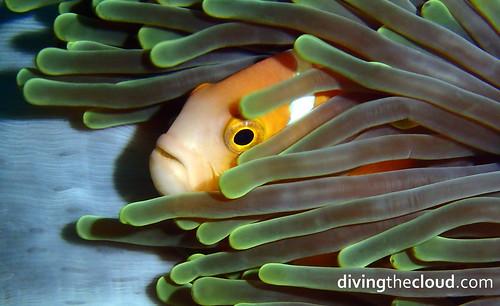 Maldive anemonefish - Pez payaso de Maldivas