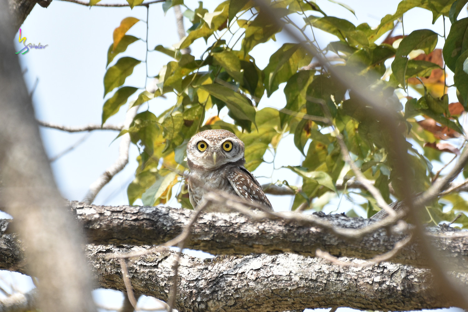 Spotted_Owlet_0188