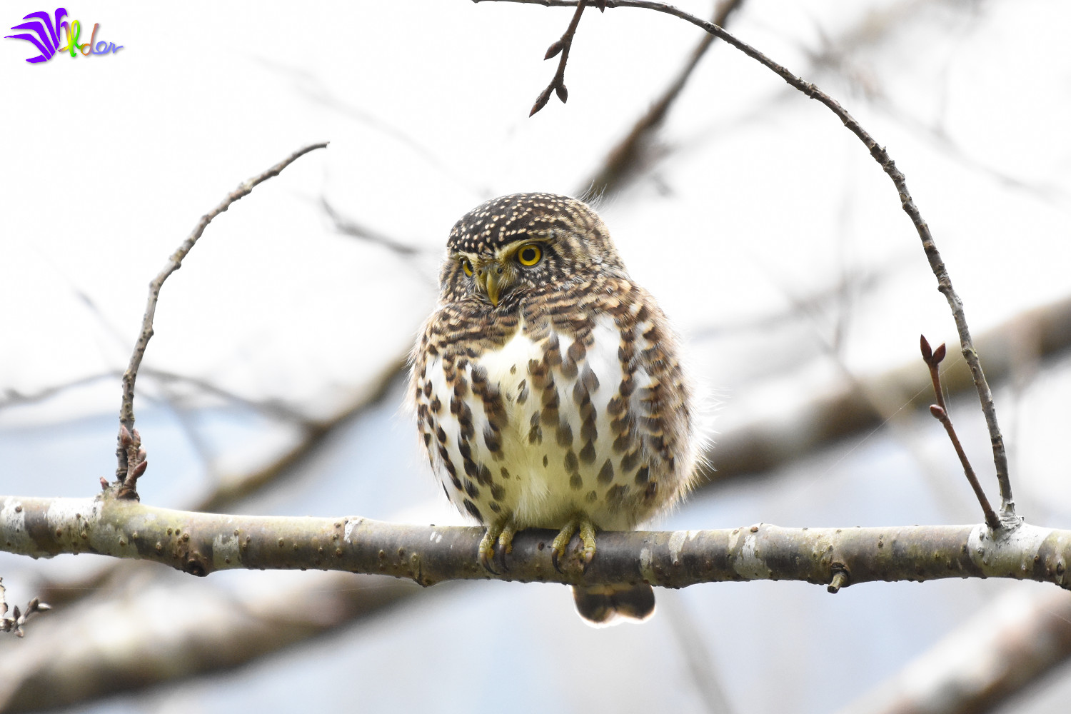 Collared_Owlet_5682