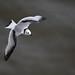 Juvenile Kittiwake in flight