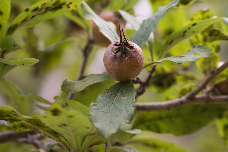 Common medlar, Mespilus germanica, in Georgia