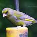 96 Greenfinch