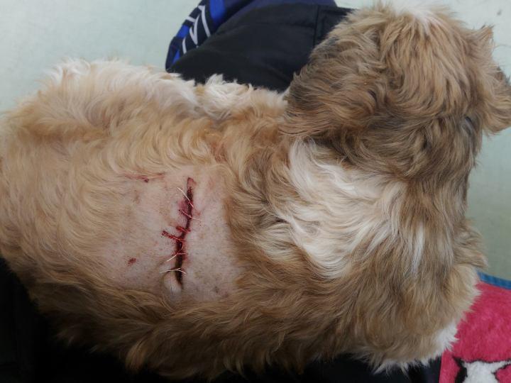 シーズー犬まろん 脂肪腫手術の直後の傷