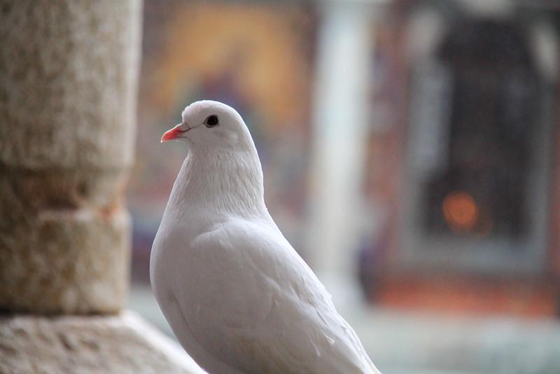 Pigeon in Rila, Bulgaria