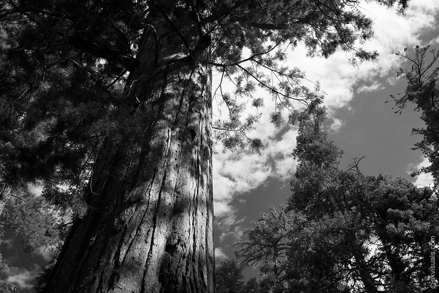 Looking Up At The Trees In Sequoia National Park, California