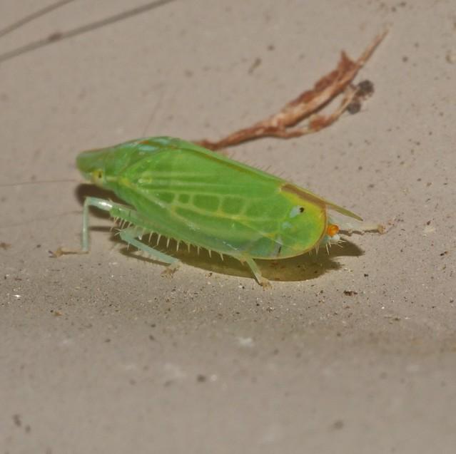 Yellow eyed fluro green shovel nose spur leg plant hopper Rhotidus sp Ulopinae Cicadellidae Airlie Beach Rainforest P1150789