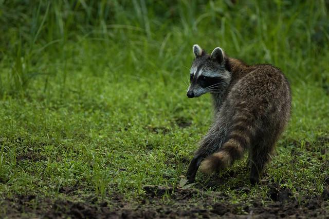 Raccoon Turned