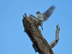 Mating Downy woodpeckers