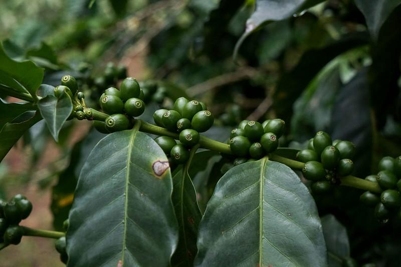 Coffee Pacas - El Savaldor