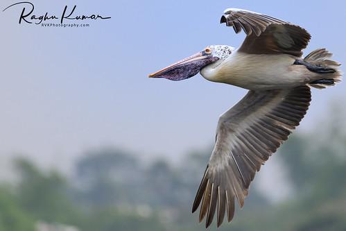 2018 birdsanctuary birds india january january2018 nikkor200500mm nikon nikond850 rvk rvkphotography raghukumar raghukumarphotography southindia tamilnadu vedanthangal vedanthangalbirdsanctuary wildlife rvkonlinecom rvkphotographycom in