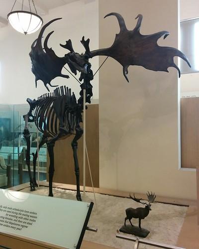 Megaloceros #newyorkcity #newyork #manhattan #amnh #fossil #megaloceros #deer #antlers #mammal #extinct #americanmuseumofnaturalhistory #latergram
