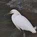 Snowy Egret por Bucky-D