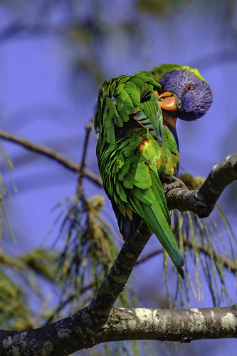 A Colourful Preening