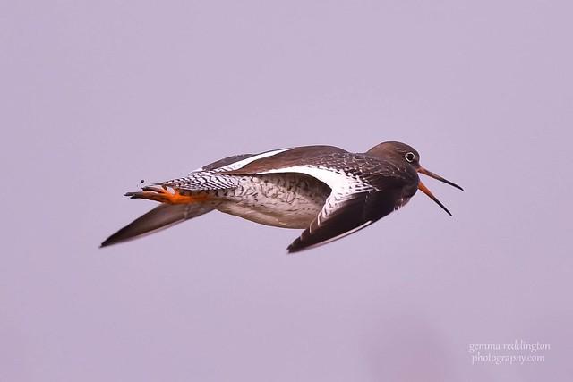 red shank in flight