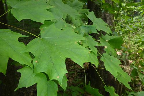 summer foliage_2, Acer saccharum