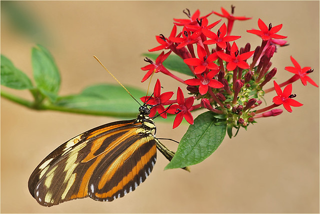 Tiger-striped Longwing Butterfly