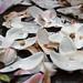 magnolia-petals_08.04.2014_6197