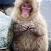 Snow Monkey Park Japan 2018, snow monkey pose WM