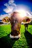 Schweizer Kuh trifft Fischauge