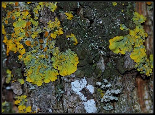 Xanthoria parietina - xanthorie des parois 26248370588_5bd9eed35f