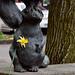 Daffodil Beaver