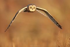 Hibou des marais -- Asio Flammeus -- Short-eared Owl - Coruja-do-naval